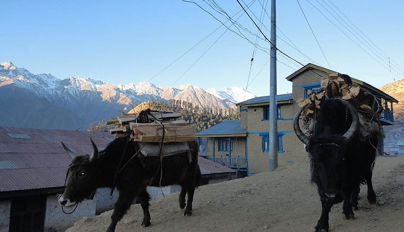 yak in humla